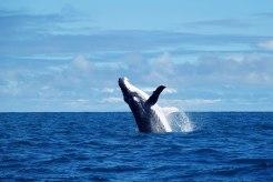 拉巴哥群島拍攝到大翅鯨躍出海面