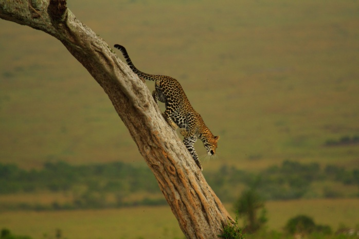 Leopard_climbing_down_from_a_tree