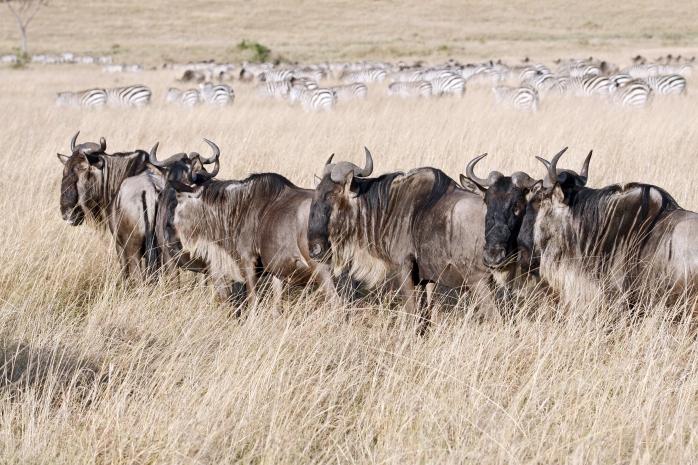 Wildebeests_in_the_Masaai_Mara